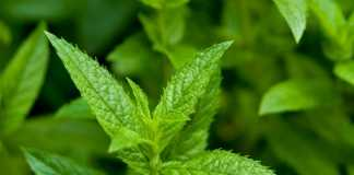 peppermint for energy boost